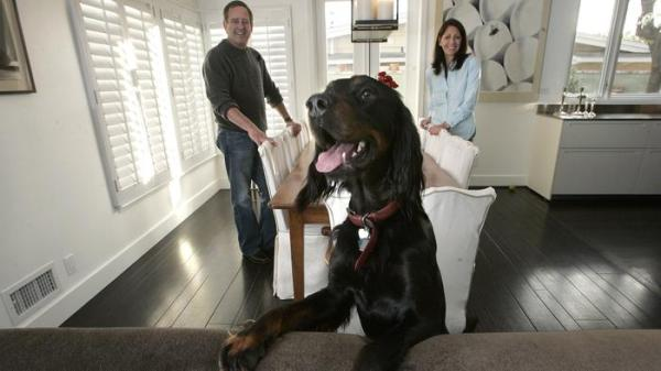 Steve and Paula Kopald photographed with Jack, a 2 year old gordon setter, inside renovated dining room of their home in Brentwood. (Mel Melcon / Los Angeles Times)